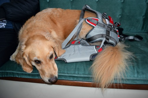 Honey the golden retriever with her Ruffwear lifting harness.