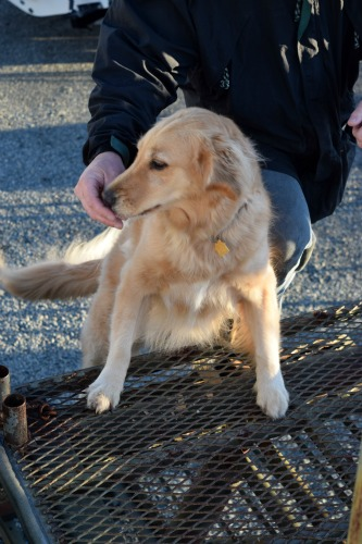 Honey the golden retriever gets a treat at the top of the steps.