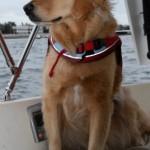 Honey the golden retriever looks off the sailboat.