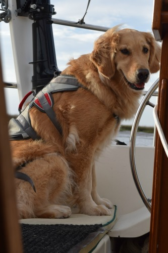 Honey the golden retriever in her Ruffwear double back harness.