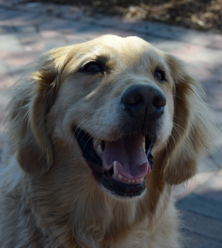 Honey the golden retriever knows the most important emergency cue you can teach a dog. And it isn't smile.