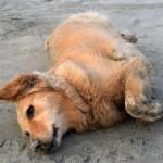 Honey the golden retriever hopes she's not rolling in dog poop.