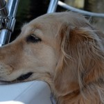 "Honey the golden retriever wonders why big dogs find it hard to ""go"" on boats."