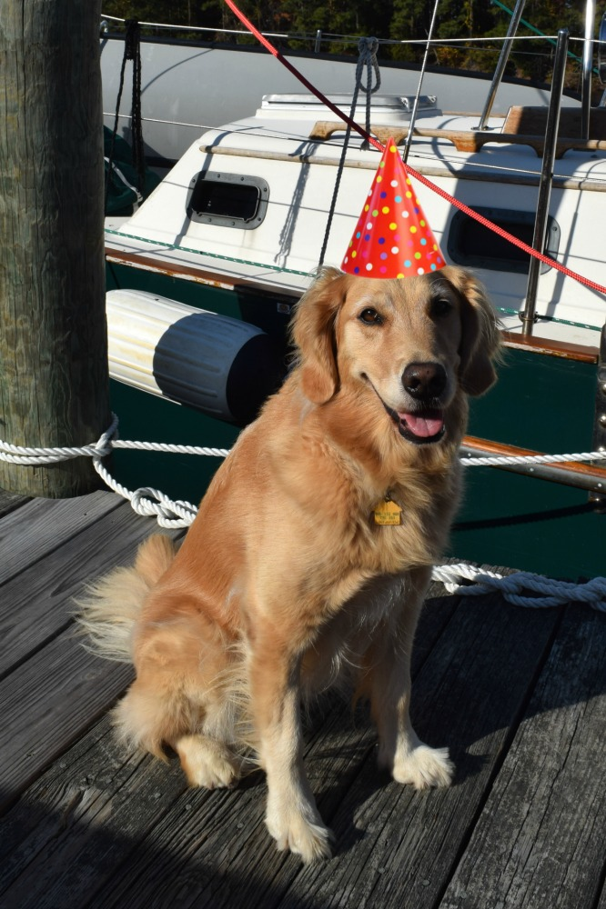 Honey the golden retriever on her 7th birthday.