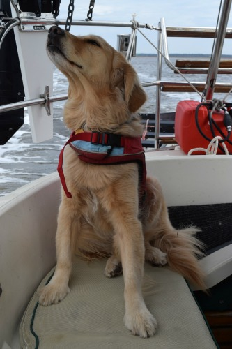 Honey the golden retriever sniffs the air from the cockpit.