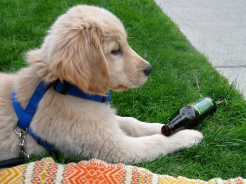 Honey the golden retriever puppy watches her first parade.
