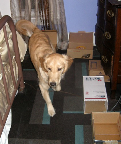 Honey the golden retriever practices nose work at home.