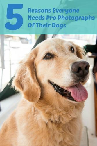 Take professional photographs of your dog - like Honey the golden retriever.