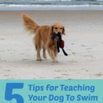 5 Tips for teaching your dog to swim - golden retriever on beach