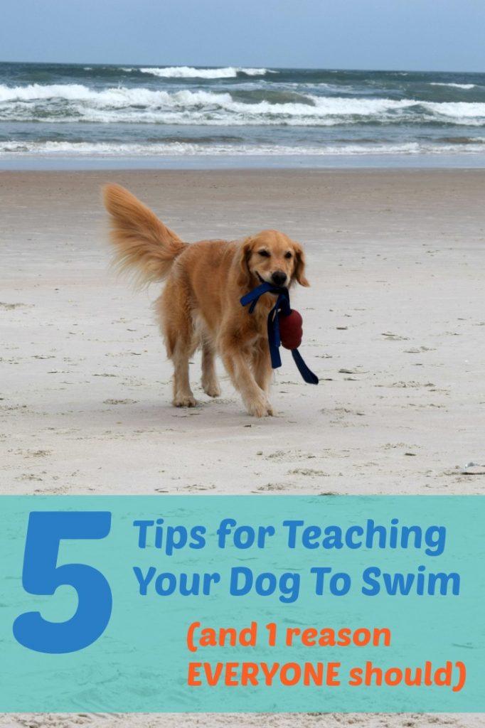 5 Tips for teaching your dog to swim - golden retriever on beach