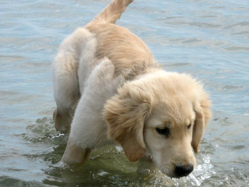 Honey the golden retriever learns to swim.