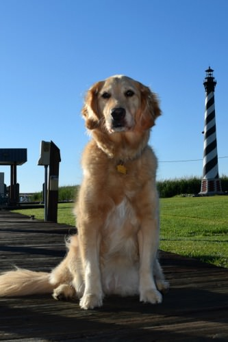 Honey the golden retriever with lighthouse at Alligator River Marina.