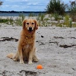 Honey the golden retriever on the beach.