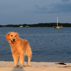 Honey the golden retriever on the beach.