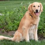 Does Your Dog Know These Cues Before Disaster Strikes?