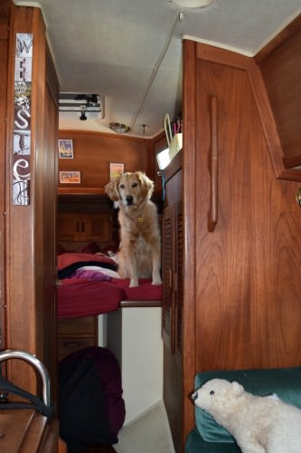 Honey the golden retriever in bed on the sailboat.