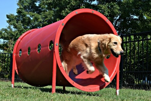 Honey the golden retriever leaps through a tube.