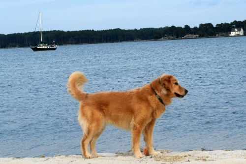 Honey the golden retriever on the beach in Little Bay in Virginia.