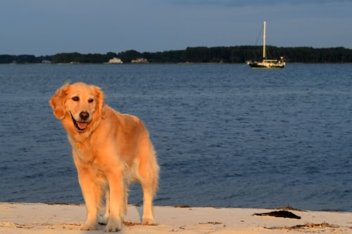 Honey the golden retriever on the beach in Onancock, Virginia.