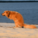 Honey the golden retriever poops on the beach.