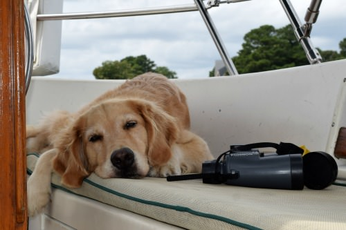 Honey the golden retriever with binoculars in cockpit.
