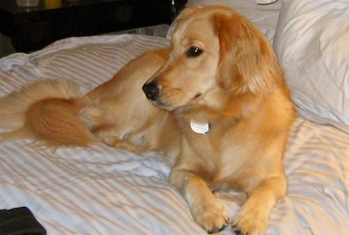 Honey the golden retriever in a hotel.