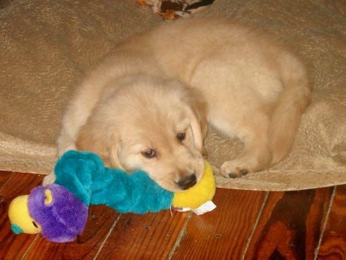 Honey the golden retriever puppy.