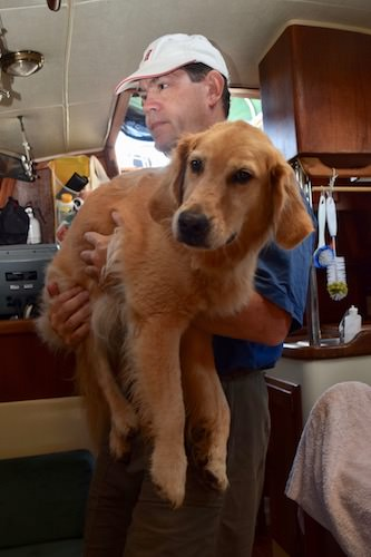 Honey the golden retriever being carried in the cabin.