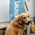Honey the golden retriever waits in the laundry room.