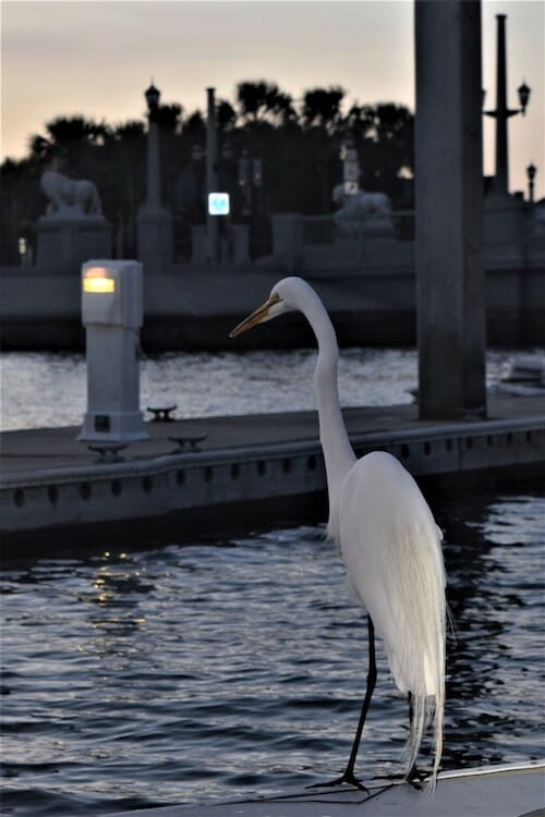 Egret on the dock at St Augustine.