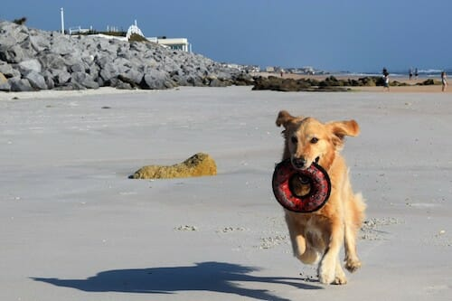 Honey the golden retriever runs with her in on Marineland's beach.
