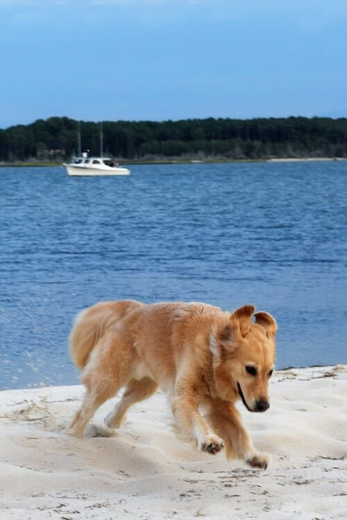 Honey the golden retriever plays on the beach at Dividing Creek off Hughlett Point.