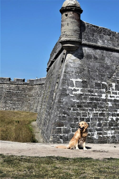 Honey the golden retriever visits Castillo de San Marcos.