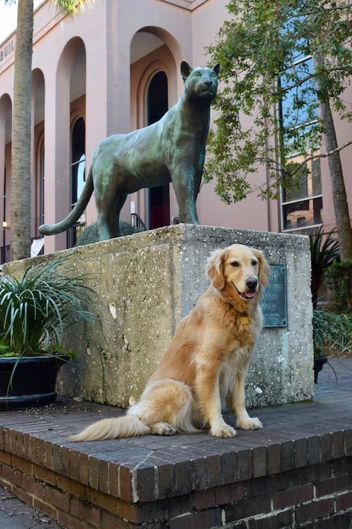 Honey the golden retriever at the College of Charleston.