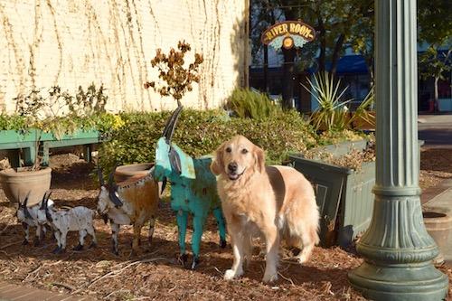 Honey the golden retriever with goat sculptures in Georgetown.