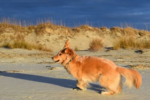 Honey the golden retriever runs on the beach at Little River Inlet.