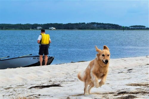 Honey the golden retriever enjoys the beach at Little Bay, off the Chesapeake.