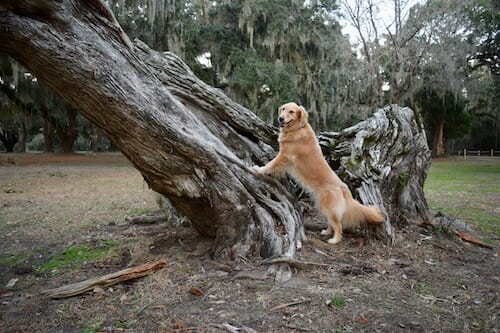 Honey the golden retriever says trees are for squirrels, not for flinging dog poop.