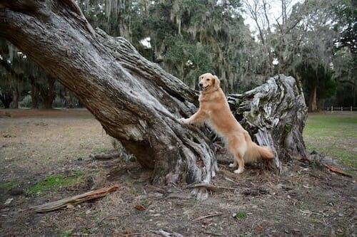 Honey the golden retriever poses with a live oak in Gascoigne Bluffs Park.