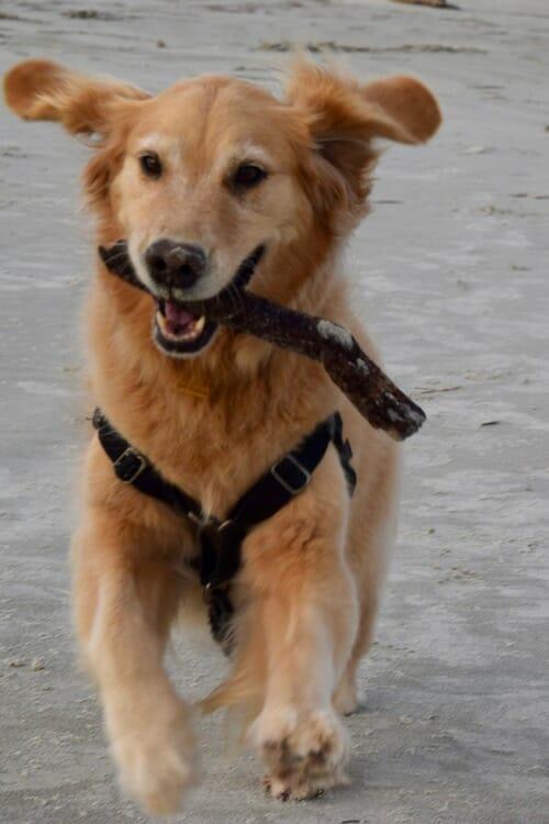 Honey the golden retriever runs on the beach at Cumberland National Seashore.