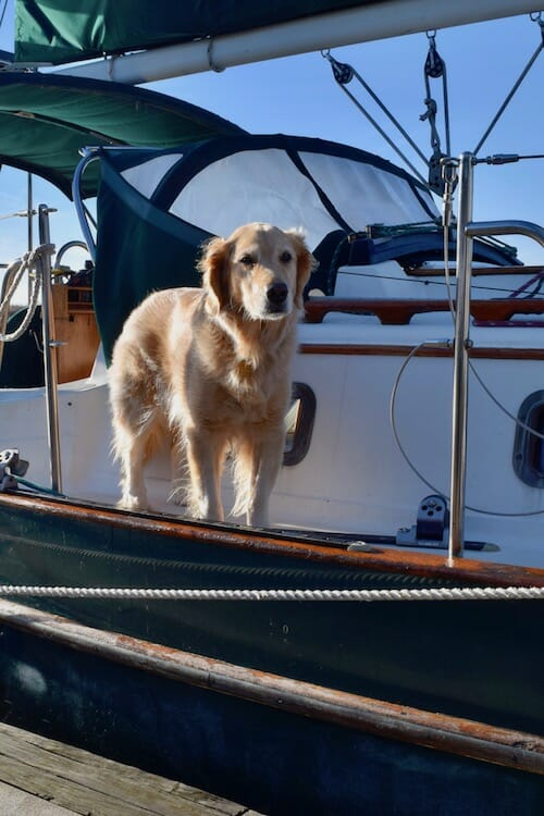 Honey the boat dog prepares to leap off the boat at the dock.