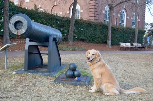 Honey the golden retriever is confident she can fetch these cannon balls.