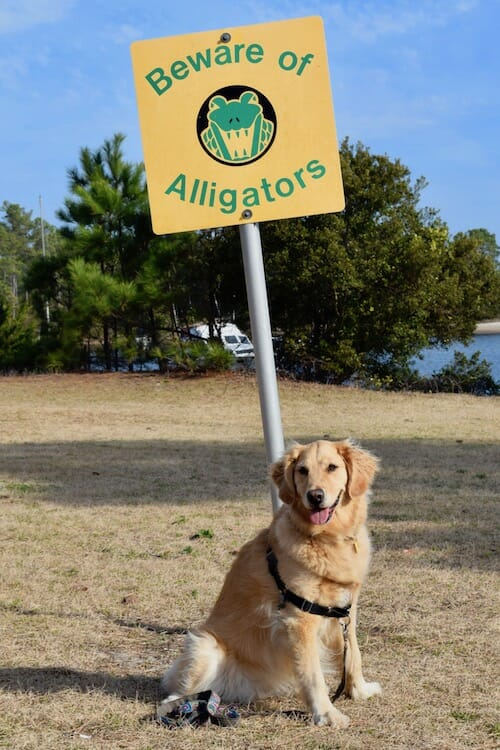 Honey the golden retriever poses with a sign warning of alligators.