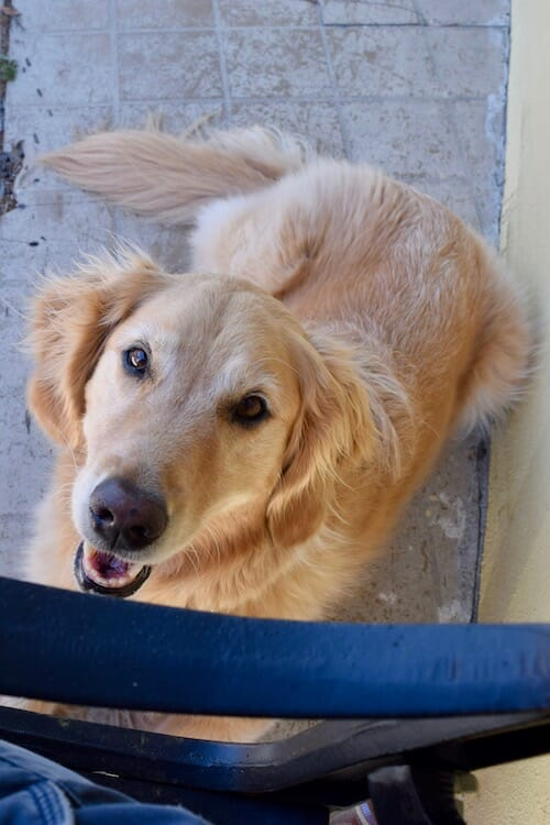 Honey the golden retriever is confident of getting a treat.