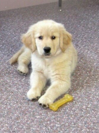Honey the golden retriever as a puppy.