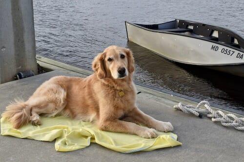 Honey the golden retriever lies down on the dock.