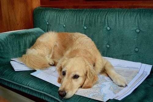 Honey the golden retriever relaxes in the cabin on a chart.