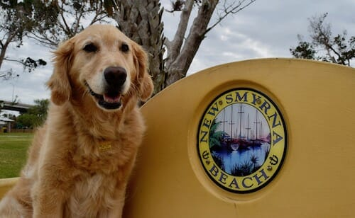 Honey the golden retriever on bench in New Smyrna Beach, Florida.