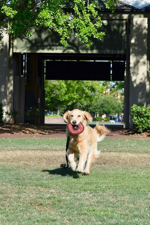 Honey the golden retriever running in Chambers waterfront park .