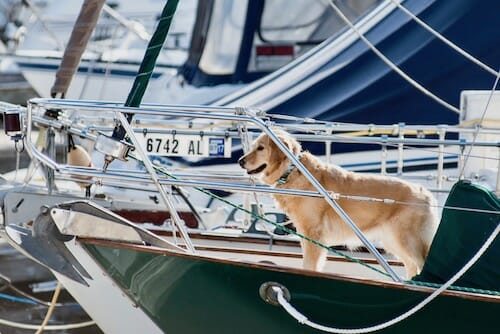Honey the golden retriever stands on the bow.